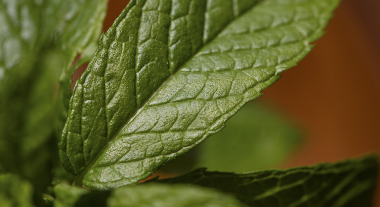 terpenes in mint