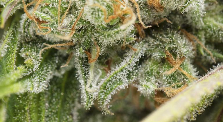 terpenos de cannabis que son