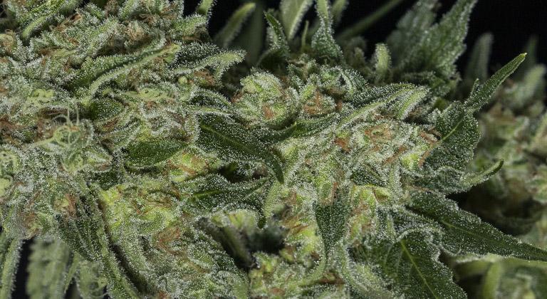 cannabis entourage effect