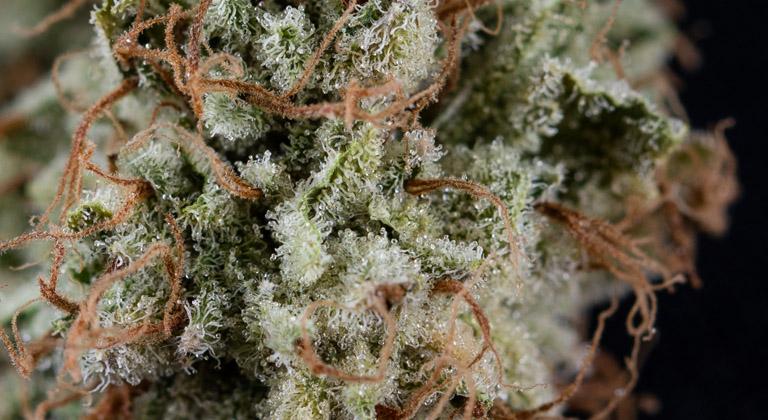como secar cannabis